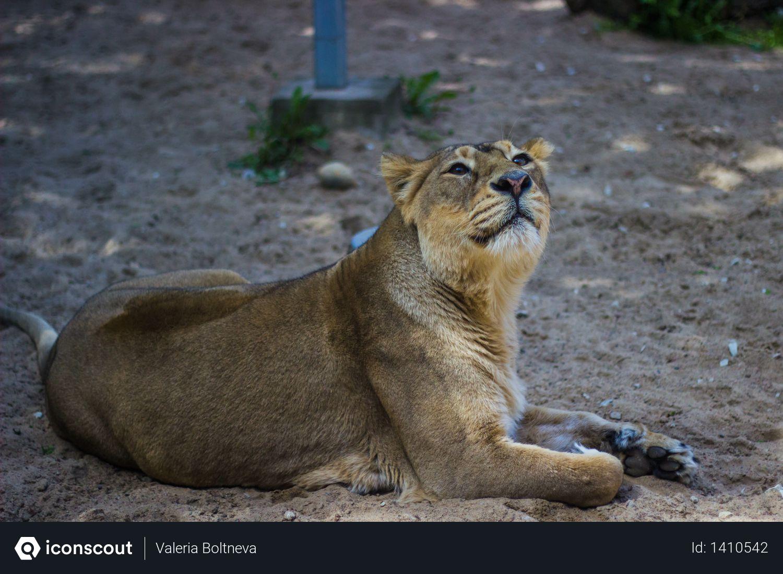 Adult Lioness Photo