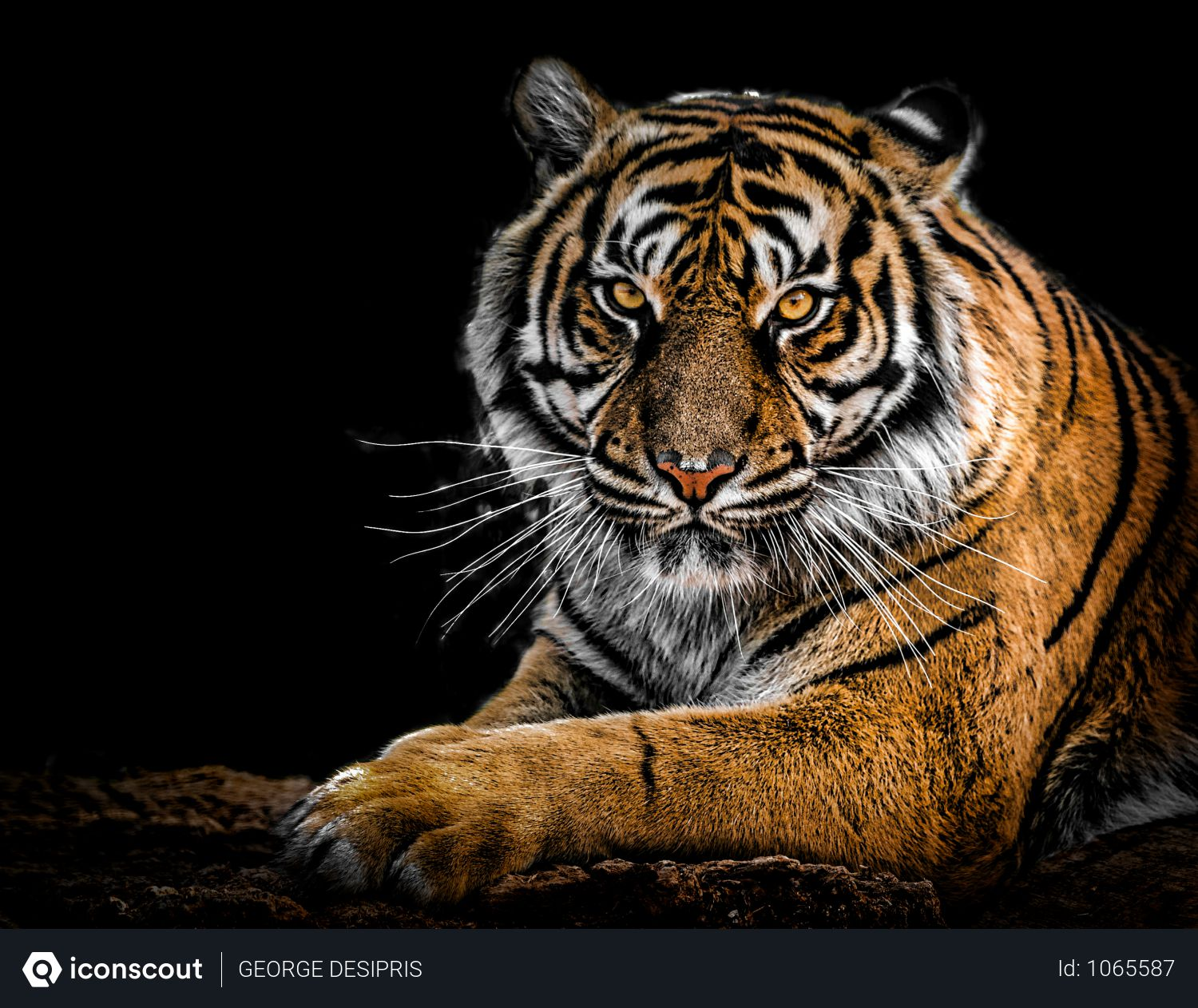 Free Close-Up Photography Of Tiger Photo download in PNG