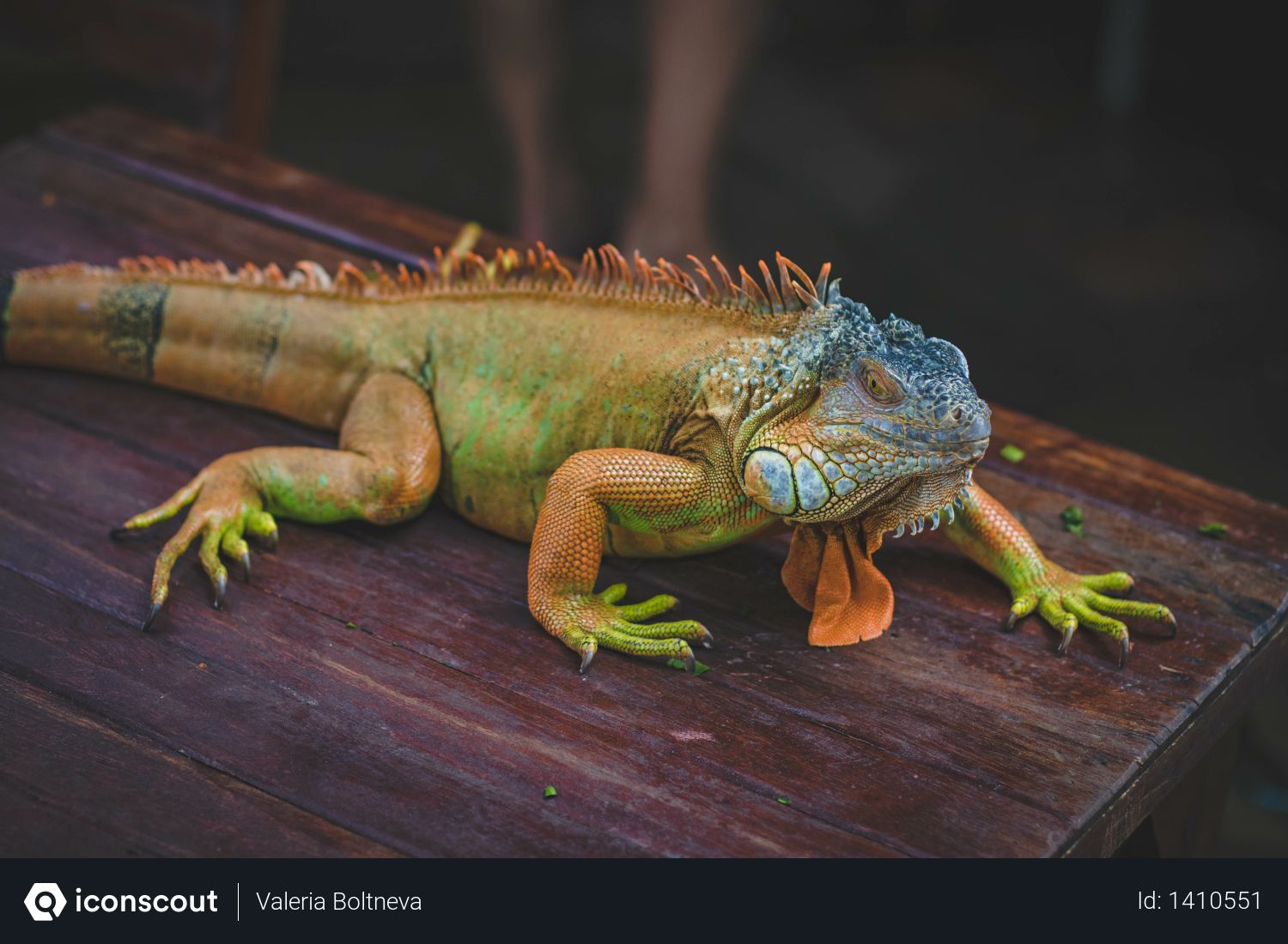 Green Iguana On Brown Wooden Table Photo