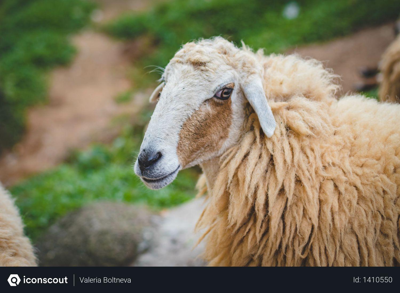Photography Of Sheep Photo
