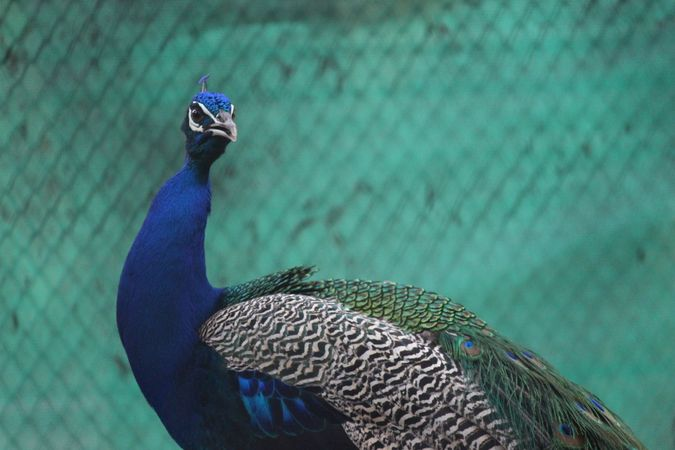 Peacock Looking