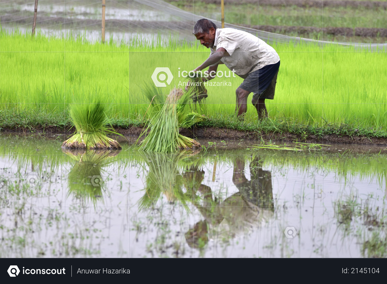 A farmer works in a paddy field at Amoni village in Nagaon District of Assam on June 24,2020 Photo