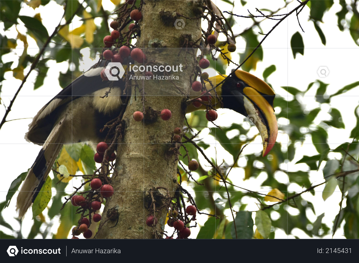 A hornbill bird sits on the branch of a tree at Burapahar range of Kaziranga National Park in Nagaon District of Assam Photo