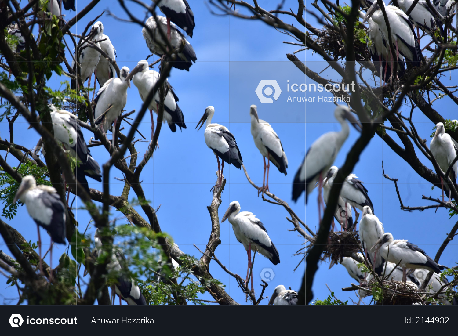 Asian Openbill Stork bird sit by their nests on a tree in Nagaon District of Assam on June 19,2020 Photo