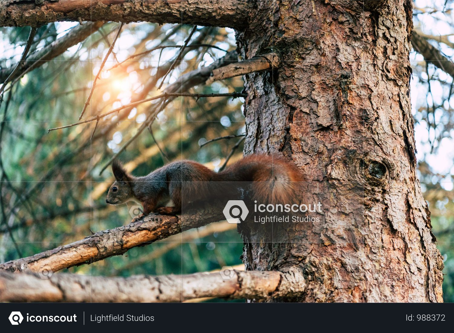 Beautiful Squirrel Sitting On Tree In Forest At Sunrise Photo