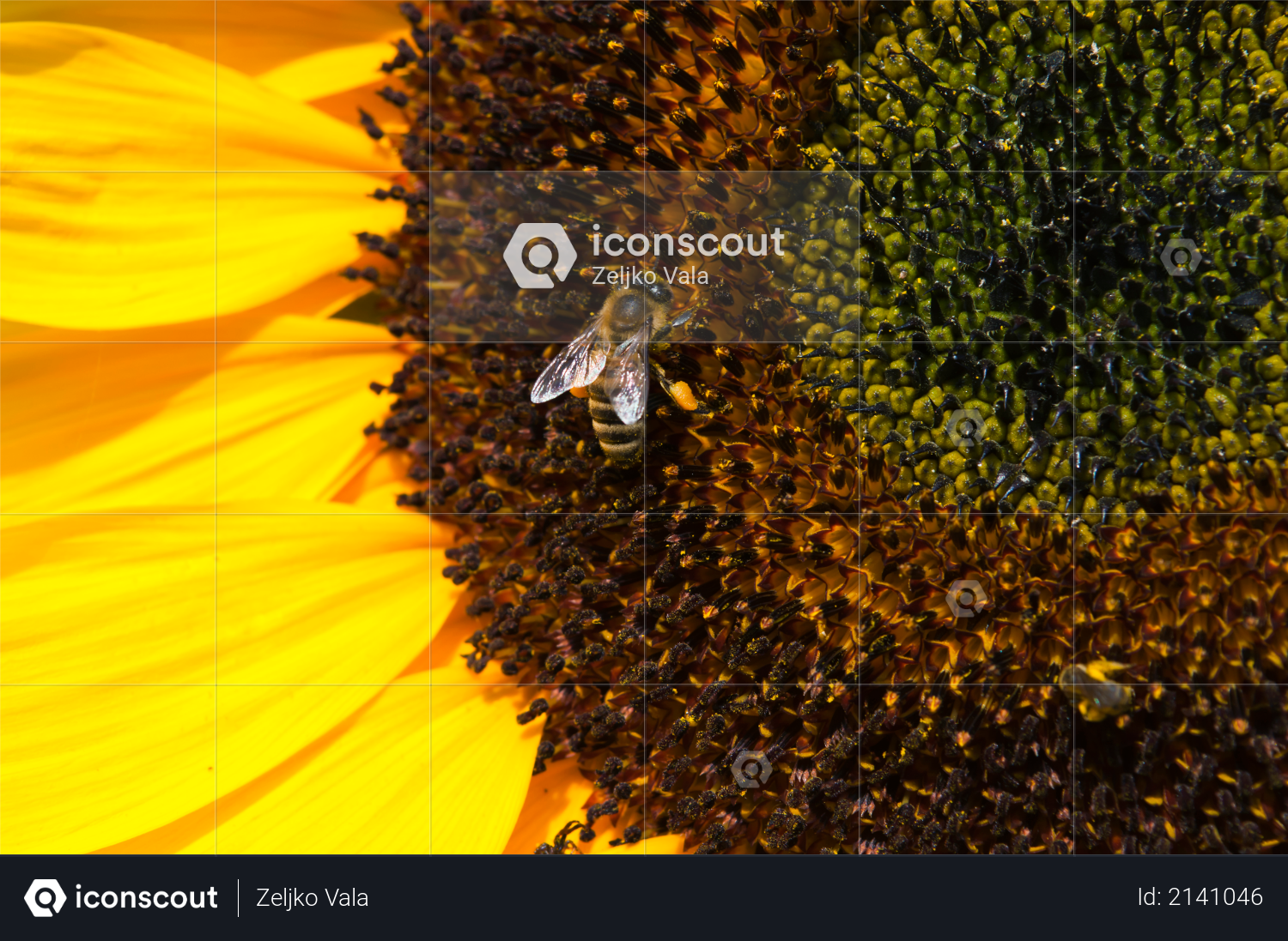 Bee on sunflower collects pollen on a sunny day Photo