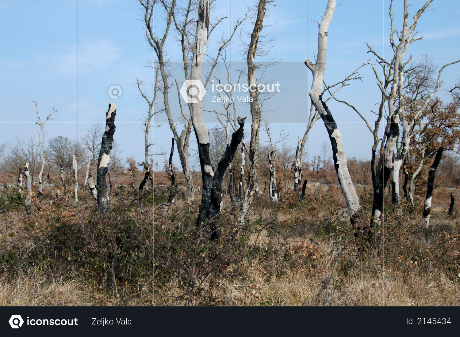 Burnt trees and grass in the forest Photo
