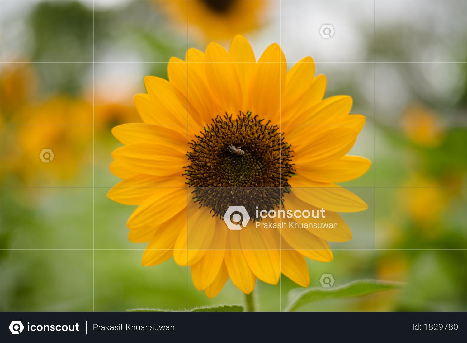 Close up of blooming sunflower in the field with blurred nature background Photo