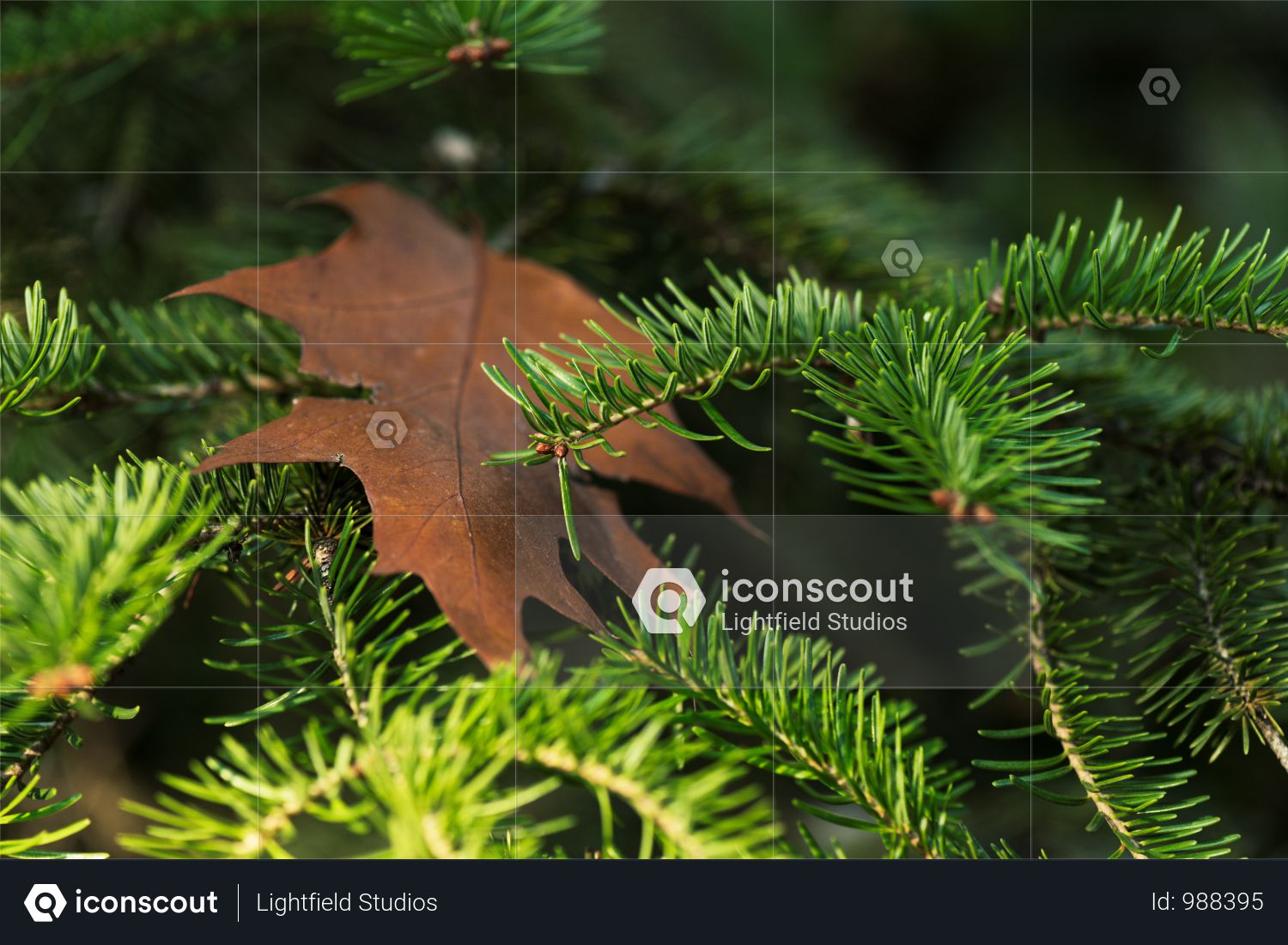 Close-up View Of Beautiful Evergreen Pine Tree Branches Photo