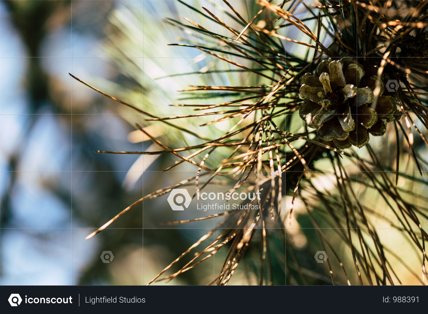 Close-up View Of Beautiful Pine Tree Branch With Cone Photo