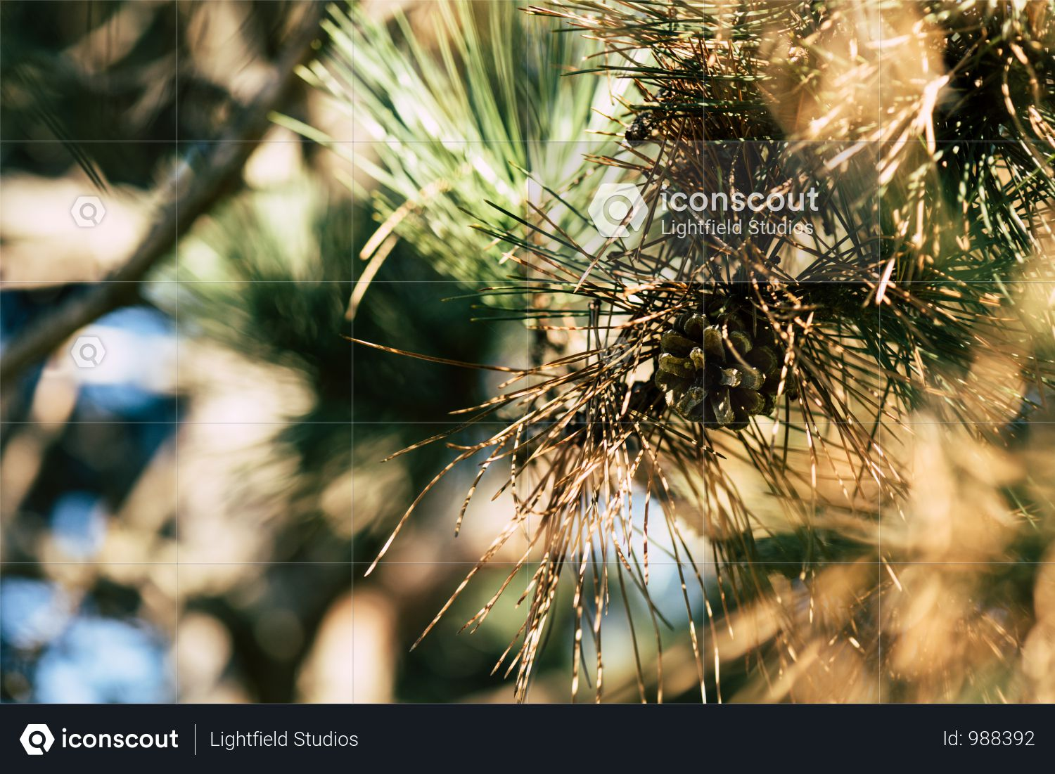 Close-up View Of Beautiful Pine Tree Branch With Pine Cone Photo