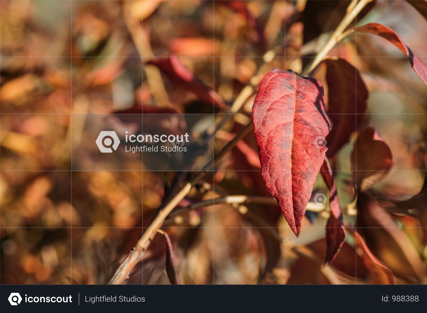 Close-up View Of Beautiful Red Autumn Leaves In Park Photo