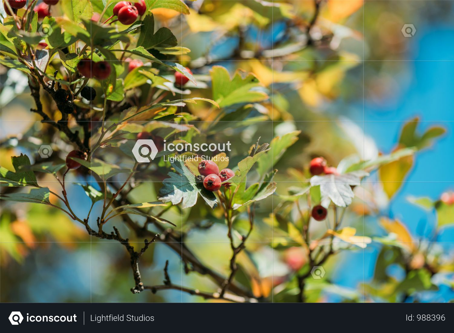 Close-up View Of Beautiful Red Berries And Leaves On Bush In Autumn Park Photo