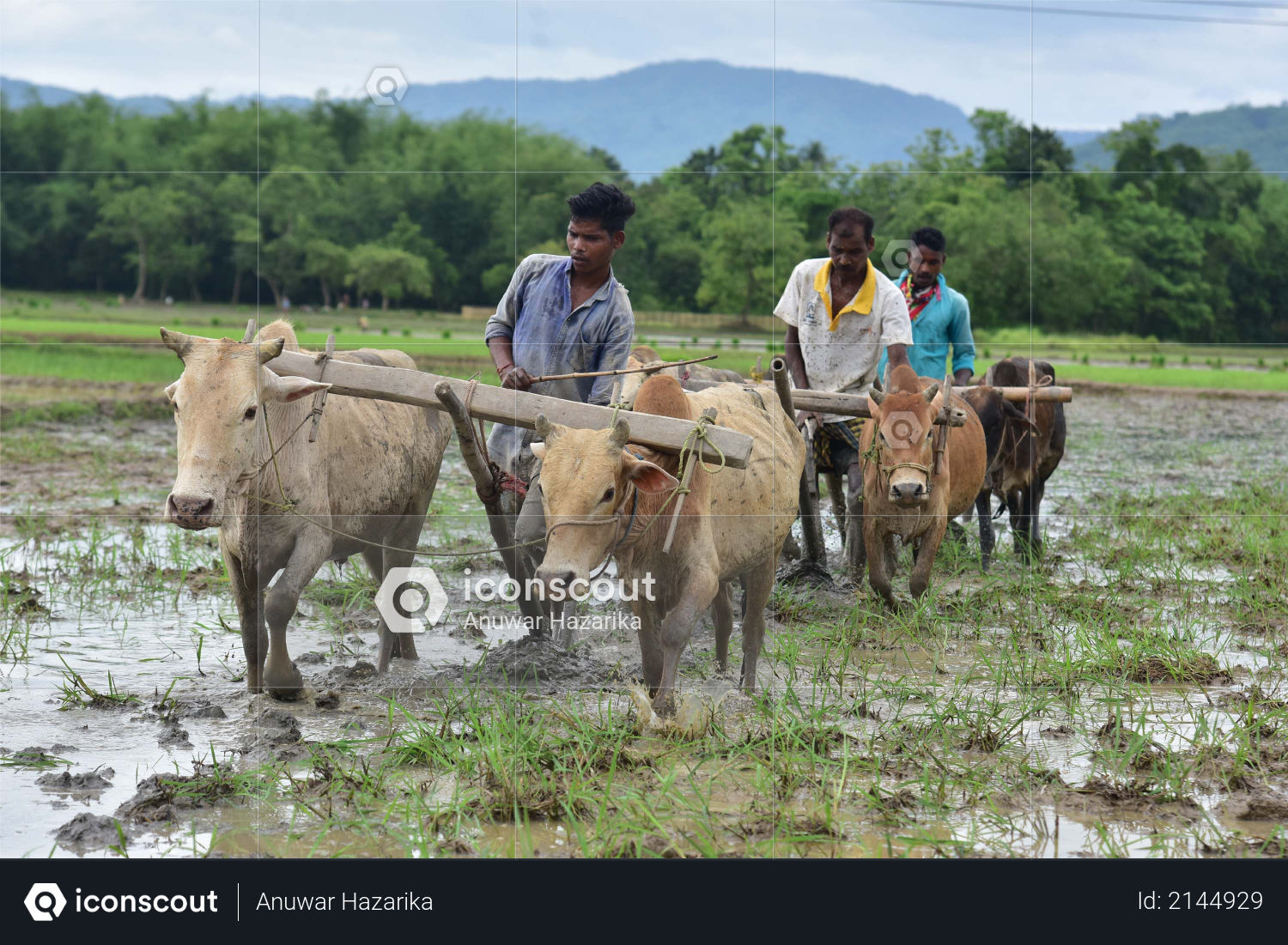 Farmer ploughs a field for paddy plantation at a field in Nagaon district in the northeastern state of Assam on June 18,2020 Photo
