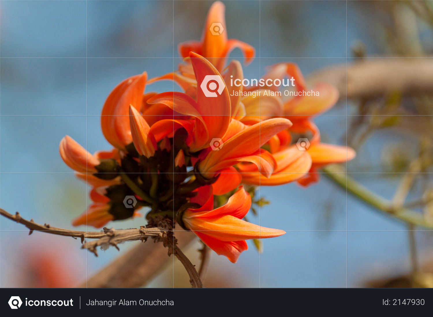 Flame of the forest (Butea monosperma) in full bloom in Dhaka, Bangladesh Photo