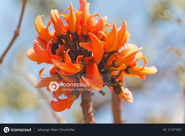 Flame of the forest (Butea monosperma) in full bloom in Dhaka, Bangladesh Photo