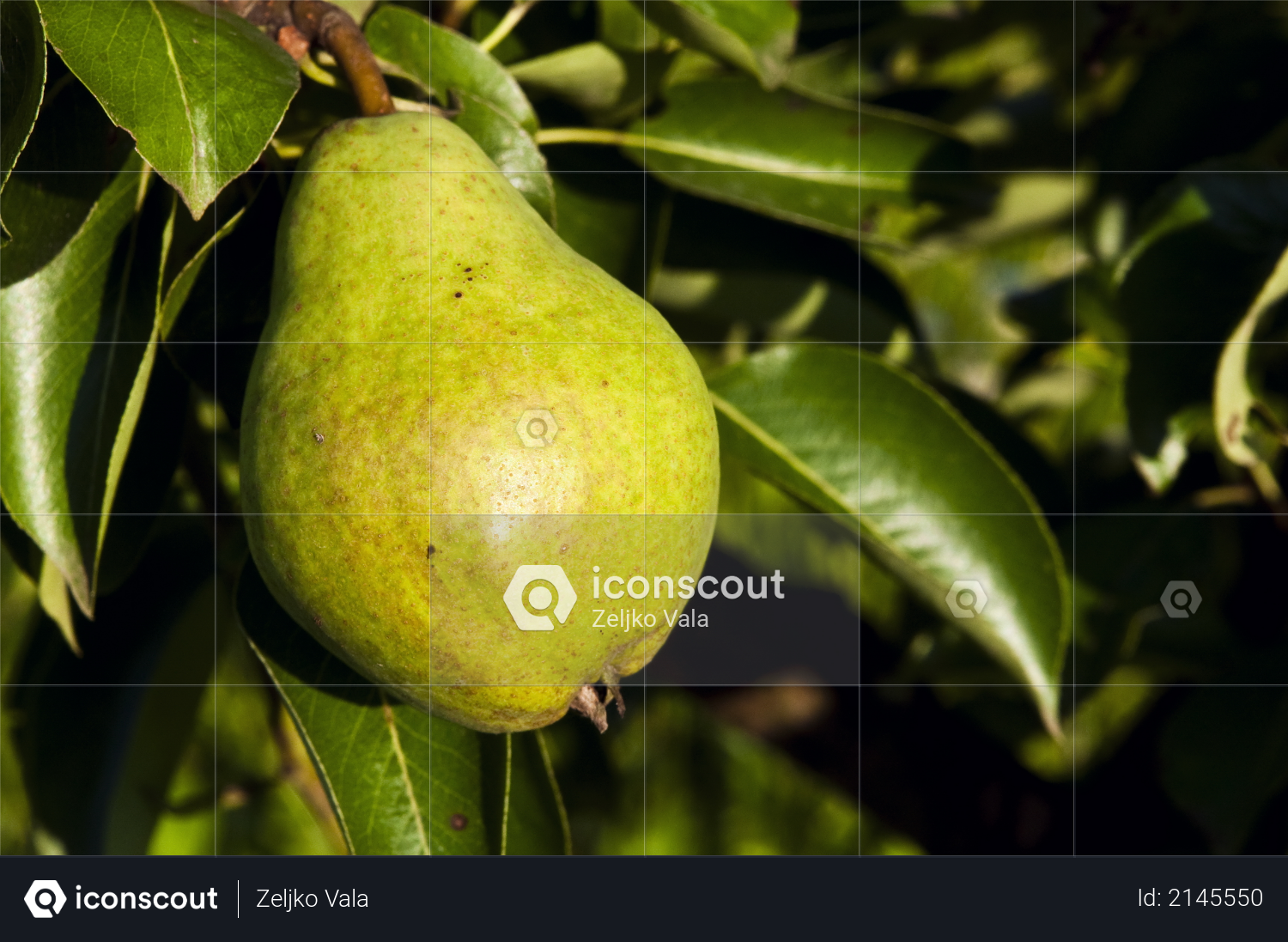 Green pear hanging on a tree with leaves in the background Photo