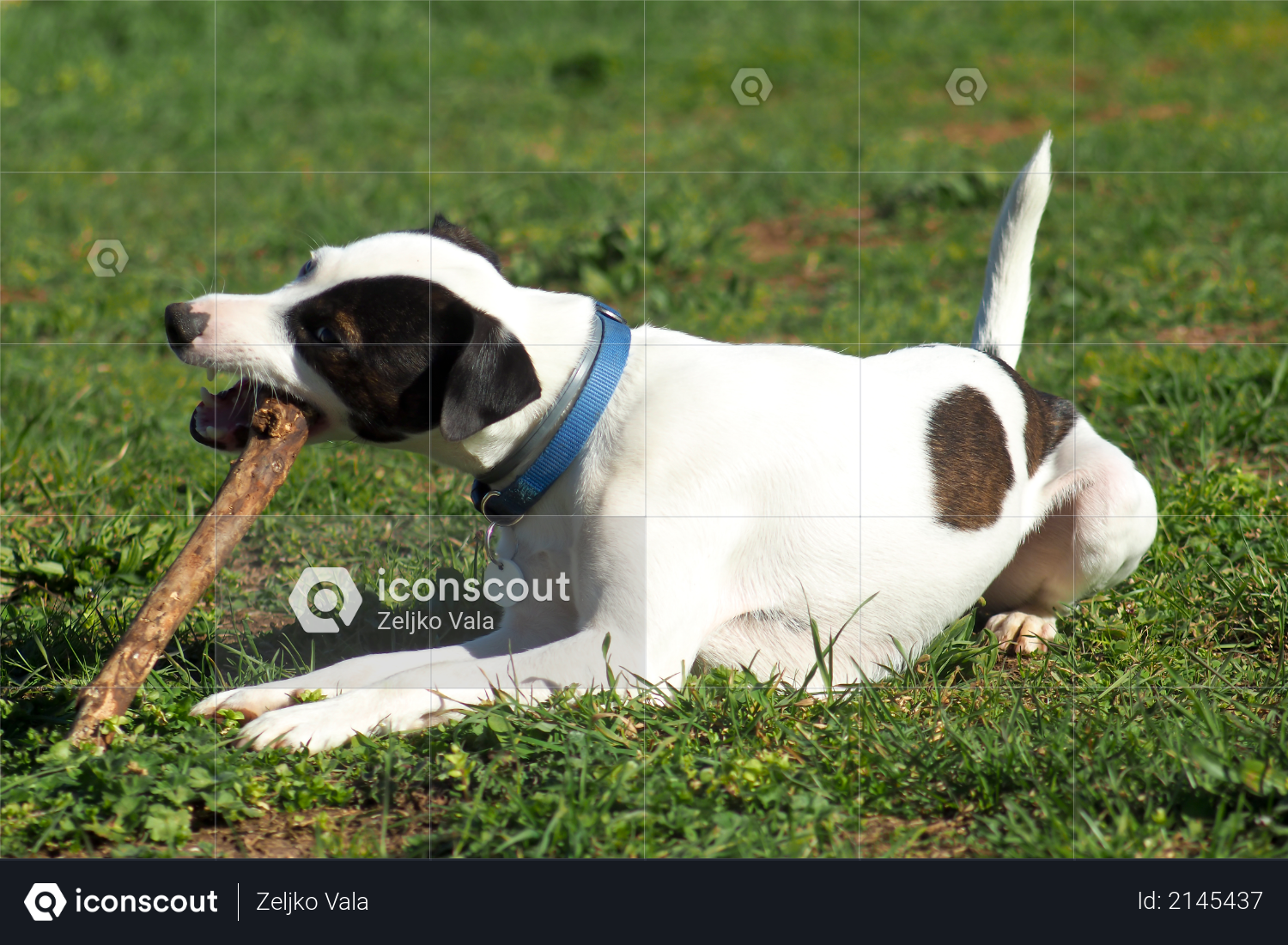 Jack Russell Terrier dog, lies on the grass and bites the stick Photo