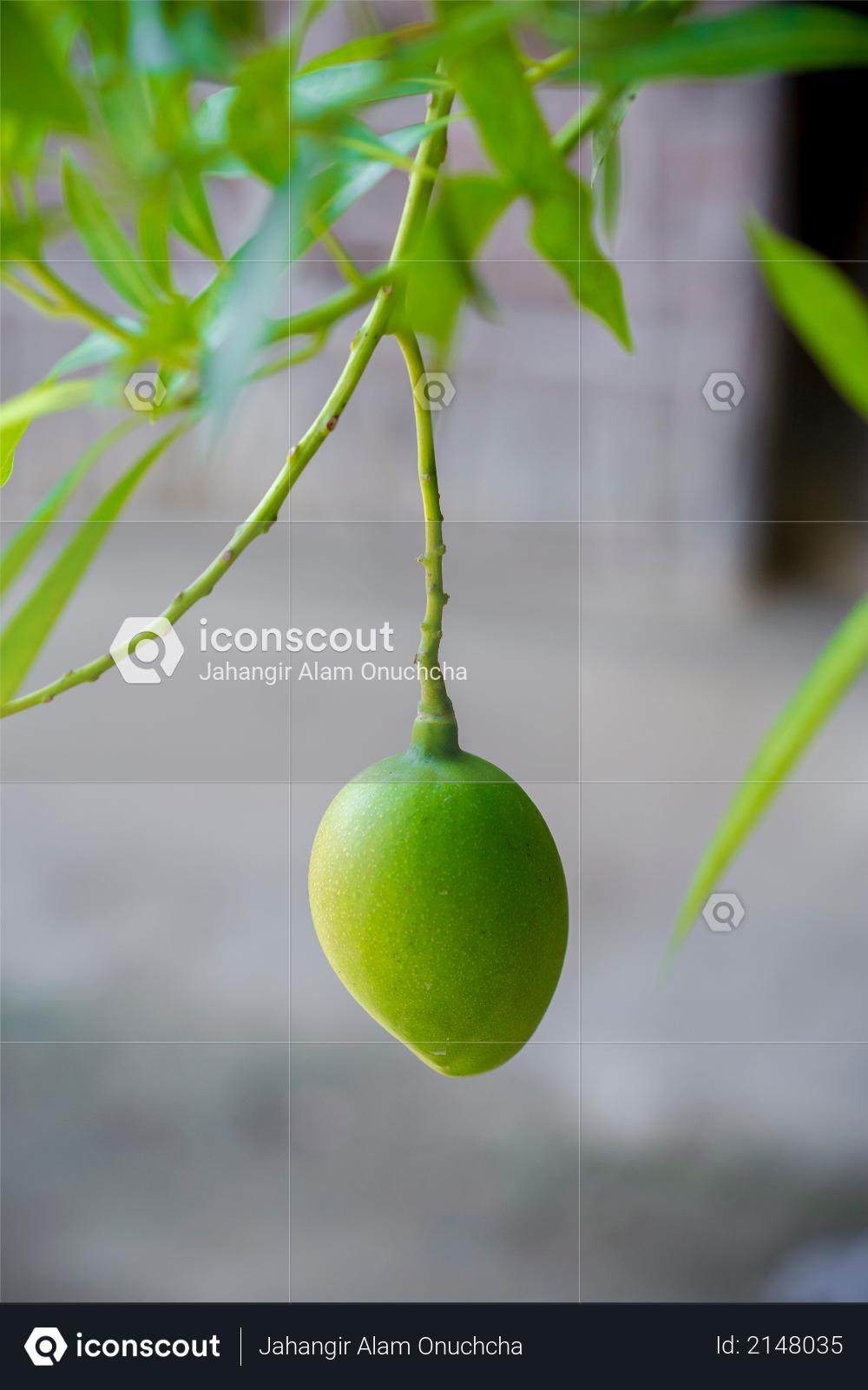 Some Mango growing on tree in areas district of Thakurgong, Bangladesh Photo