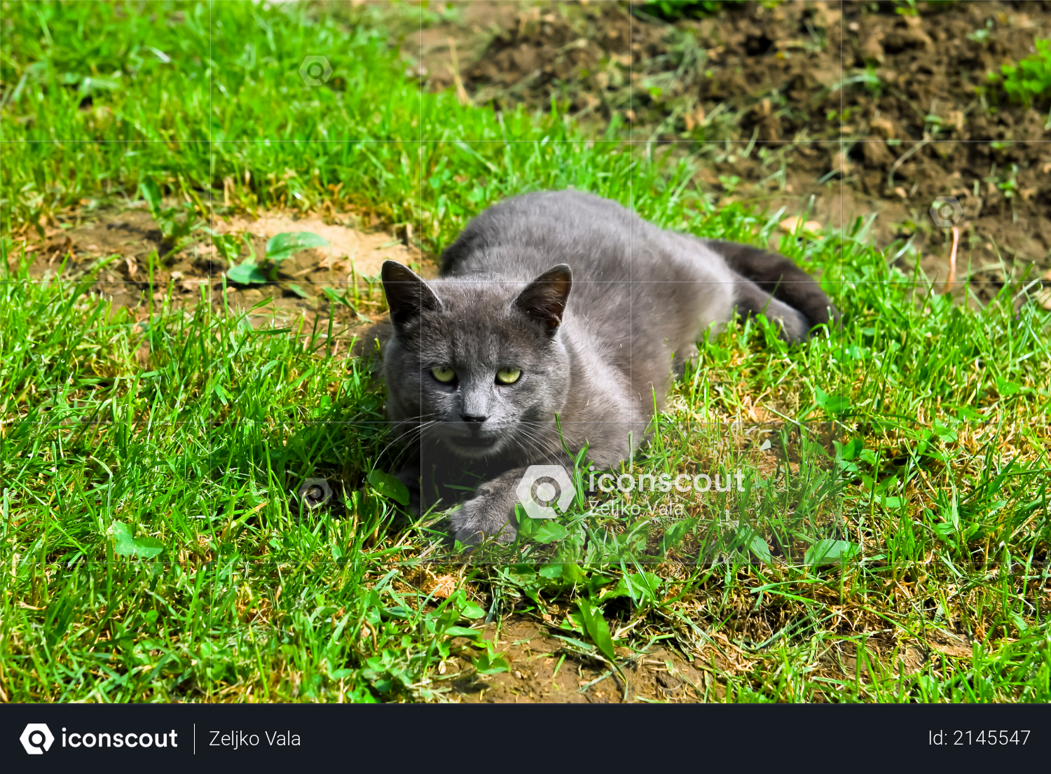 Youngl gray cat lying in the grass Photo