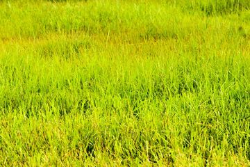 Green Grass Field, Salunkwadi, Ambajogai Beed, Maharashtra, India, Southeast, Asia. Shoot